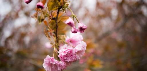 Cherry Blossom Watch Update (Kwanzan Edition): April 9, 2016
