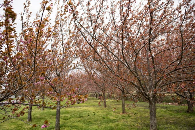 Kwanzan Cherry Blossoms - April 9, 2016