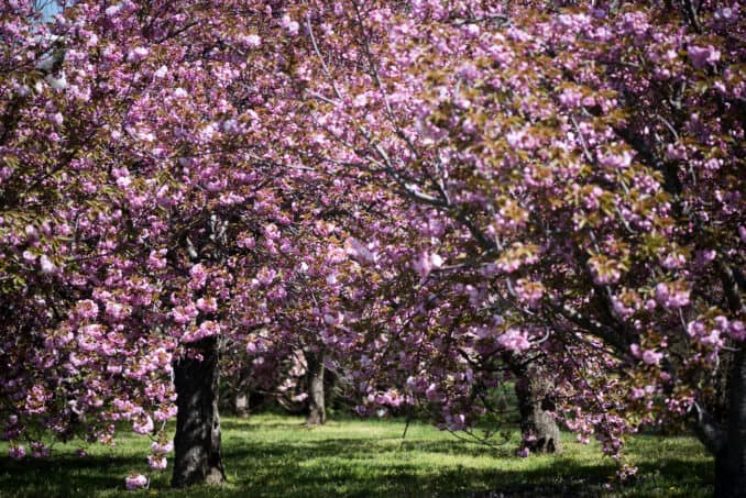 Kwanzan Cherry Blossoms - April 16, 2016