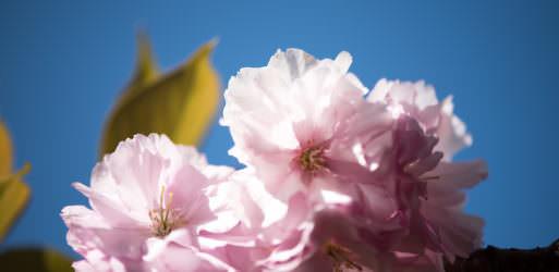 Cherry Blossom Watch Update (Kwanzan Edition): April 16, 2016