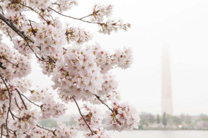 Washington DC Cherry Blossoms in Peak Bloom