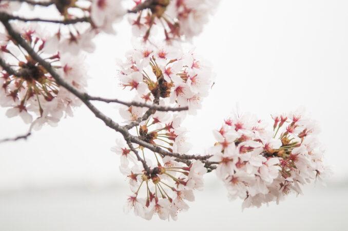 Cherry Blossoms Close-Up Against Overcast Sky