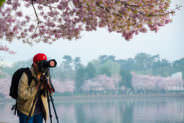 Photographer Taking Photos of the Cherry Blossoms