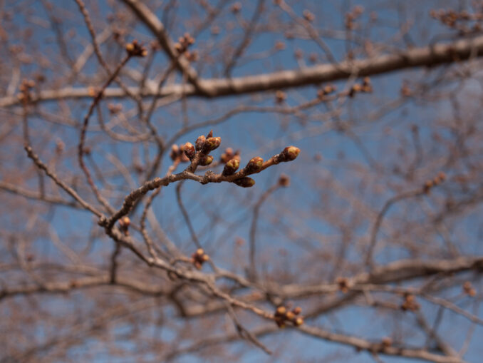 Cherry Blossoms as of March 19, 2013