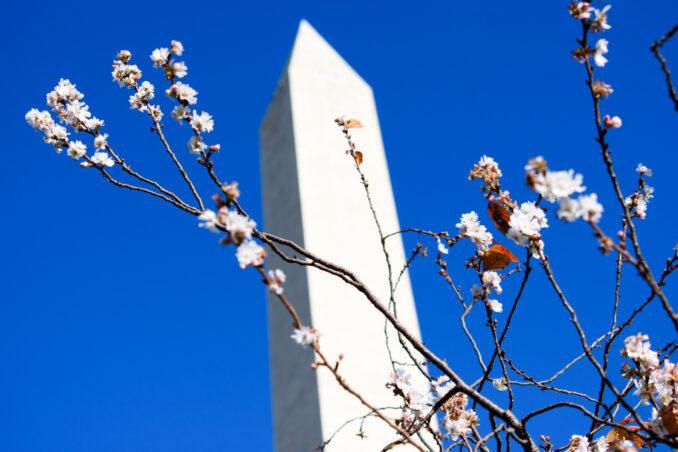 cherry blossoms washington dc november 22 2016 08 678x452 - Cherry Blossoms in November?