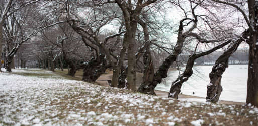 Cherry Blossom Watch Update: January 30, 2017