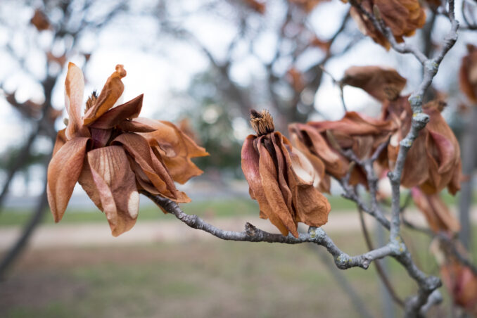 Saucer Magnolias burned by sub-freezing temperatures