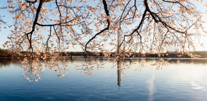 Washington DC Cherry Blossoms - March 9, 2017