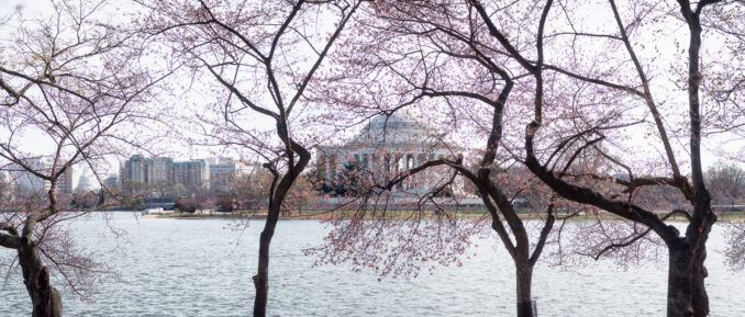 Washington DC Cherry Blossoms 2017 - March 13