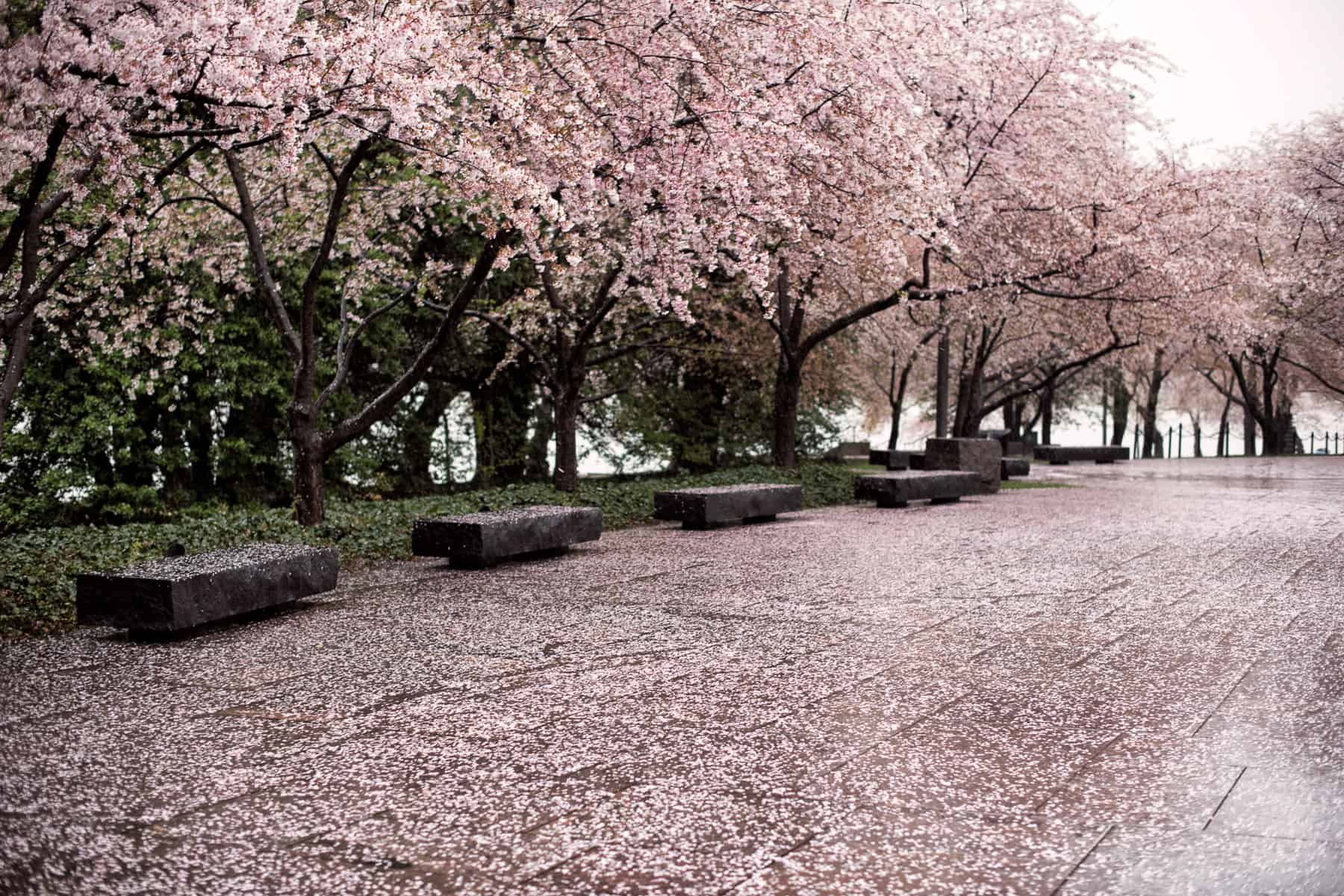 Washington Dc Cherry Blossom Watch Update March 31 2017