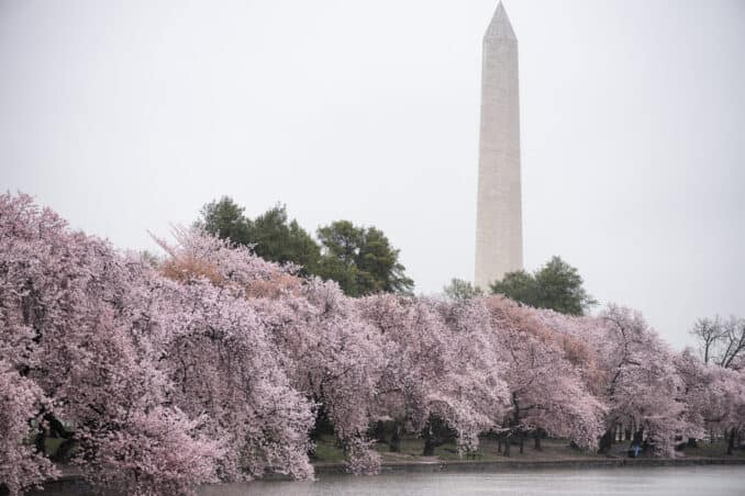 Washington DC Cherry Blossoms 2017 - March 31