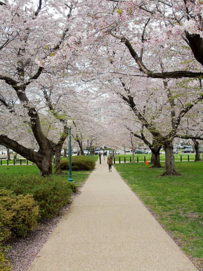 Cherry Blossom Photos 2017