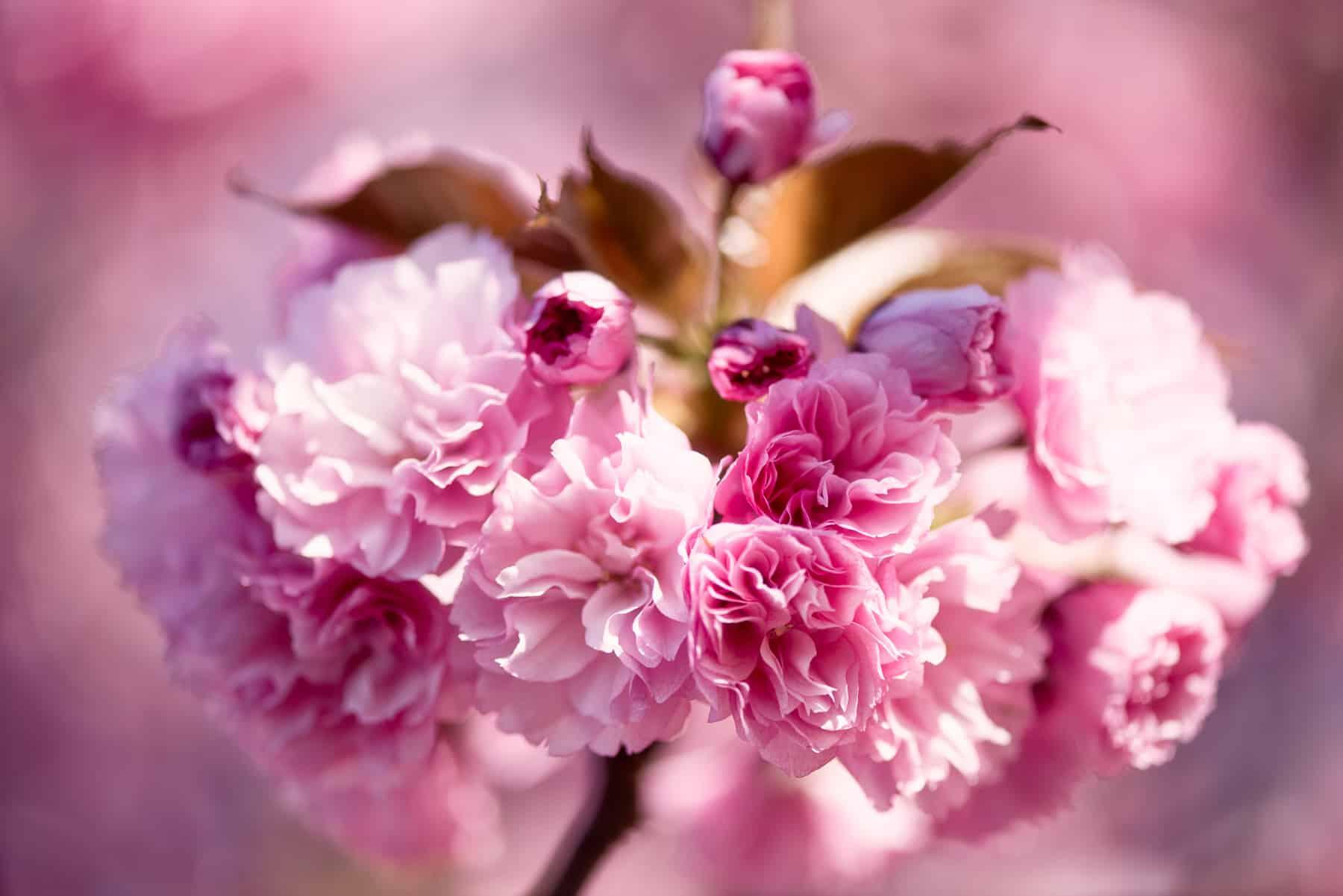 Cherry Blossom Watch Update Kwanzan Edition April 9 2017