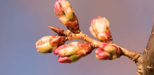 Cherry Blossom Watch Update: March 18, 2018