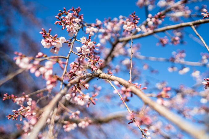 Cherry Blossom Watch Update: March 26, 2018