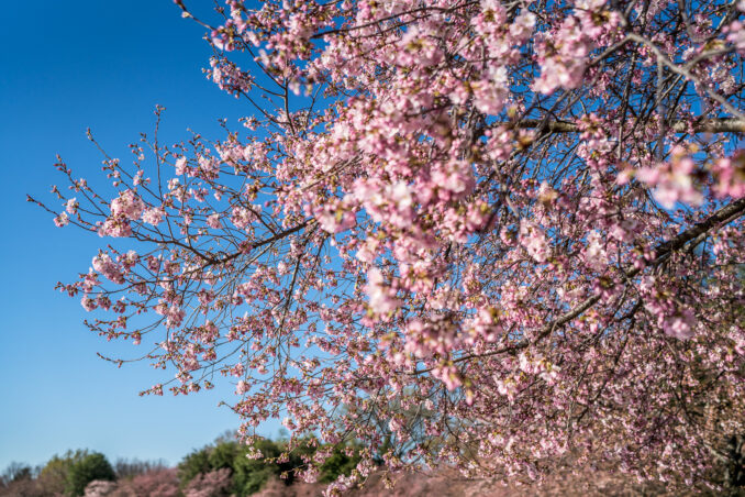 DC Cherry Blossom Watch - March 31, 2018