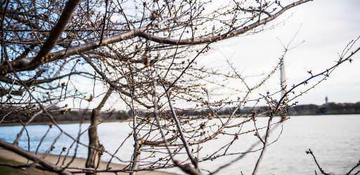 Cherry Blossom Watch Update: March 3, 2018