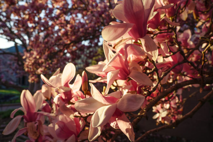 Magnolias at the Smithsonian Castle - March 31, 2018