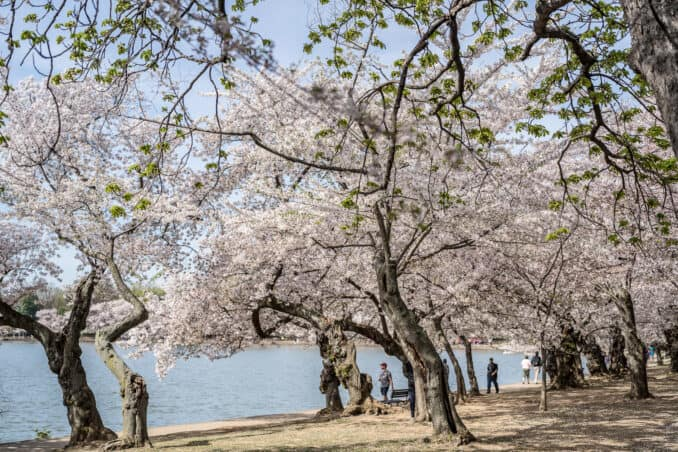 DC Cherry Blossom Watch - April 13, 2018