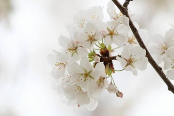 cherry blossom 2018 678x452 - Reader Photos 2018 | Part 2