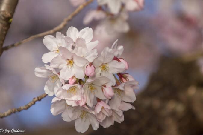 cherry blossom perfection 678x452 - Reader Photos 2018 | Part 1