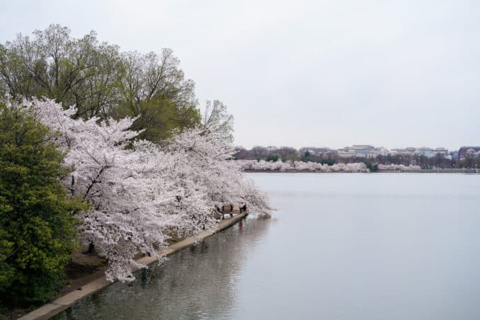 DC Cherry Blossom Watch Update: April 11, 2018