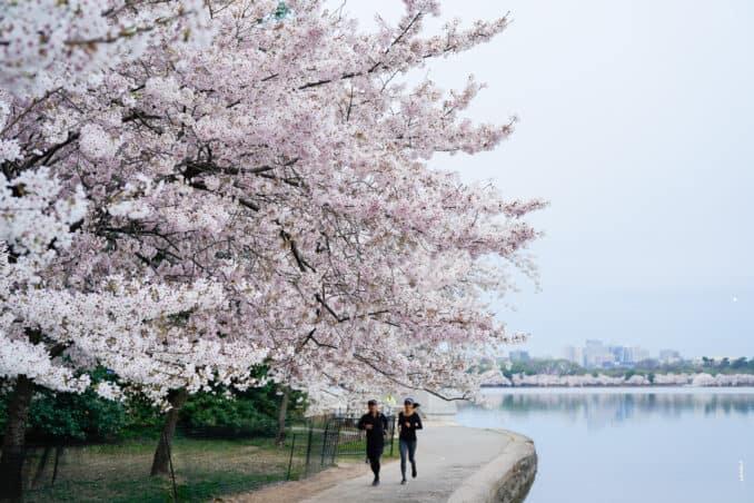 DC Cherry Blossom Watch Update: April 12, 2018