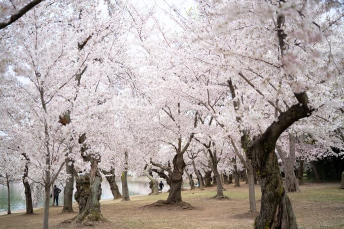 DC Cherry Blossom Watch Update: April 12, 2018