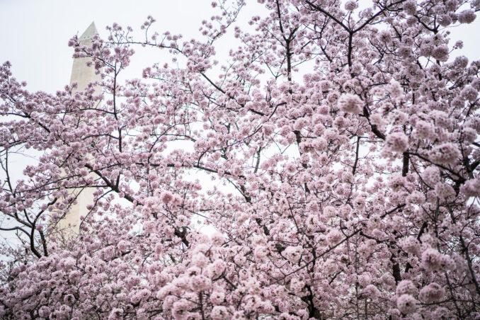 DC Cherry Blossom Watch Update: April 2, 2018