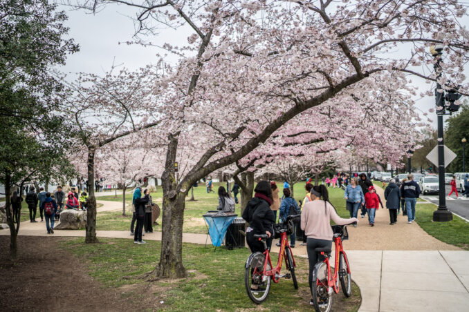 DC Cherry Blossom Watch Update: April 2, 2018