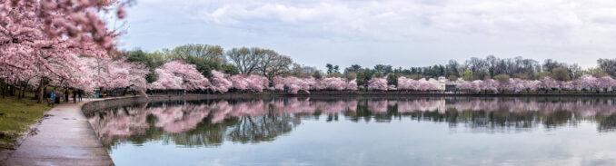 DC Cherry Blossom Watch Update - April 4, 2018