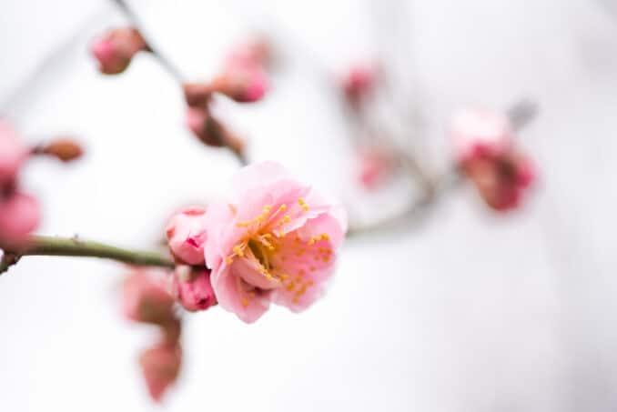 Washington DC Cherry Blossoms - February 17, 2019
