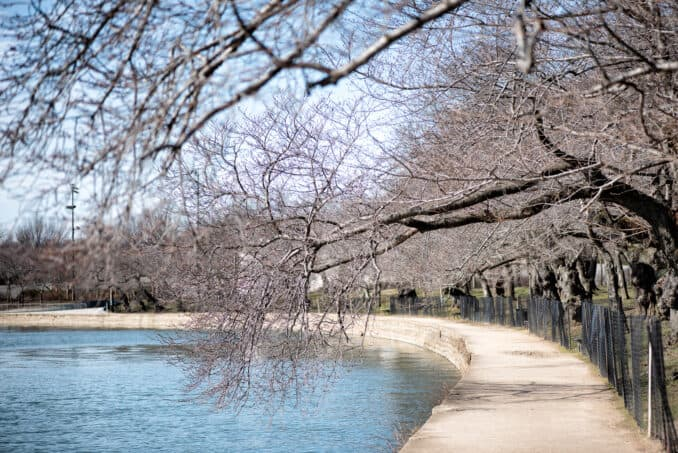 Washington DC Cherry Blossoms - February 9, 2019