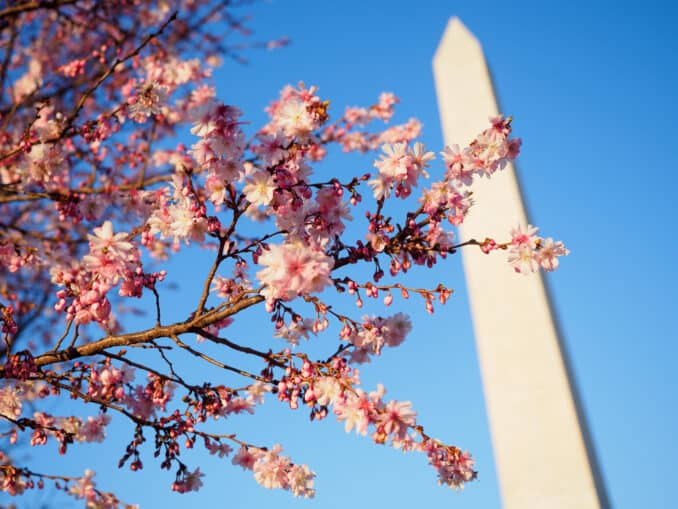 Higan Cherry Blossoms at the Washington Monument
