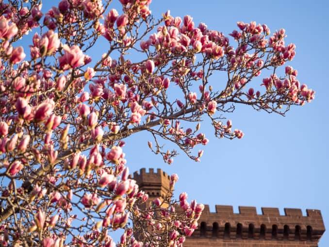 Saucer Magnolias at the Enid A. Haupt Garden
