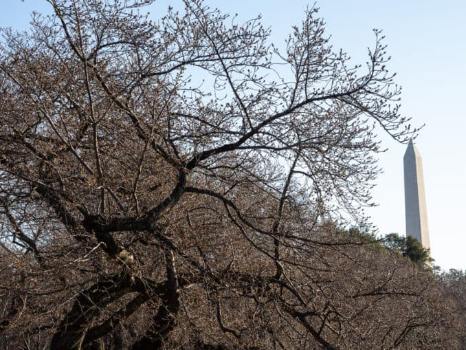 0018 078 084044455 678x509 - Cherry Blossom Watch Update: March 19, 2019