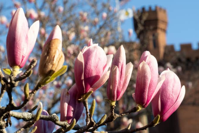 Washington DC Cherry Blossoms - March 23, 2019 - Saucer Magnolias at the Enid A. Haupt Garden