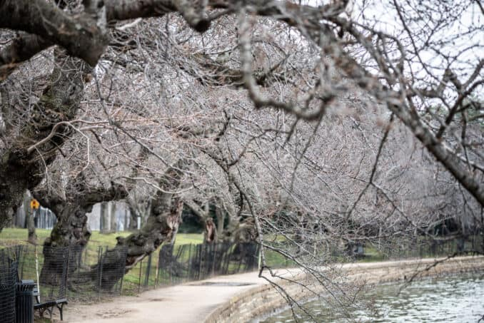 Washington DC Cherry Blossoms - March 3, 2019