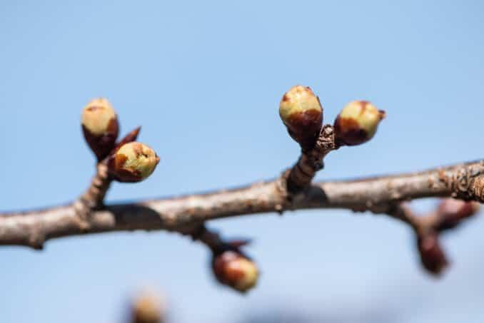 Washington DC Cherry Blossoms - March 14, 2019