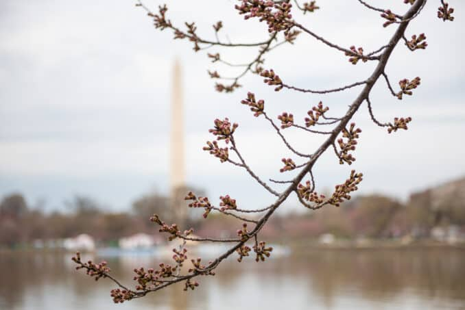 Washington DC Cherry Blossoms - March 25, 2019