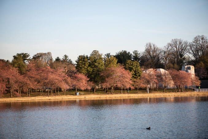 Washington DC Cherry Blossoms - March 27, 2019