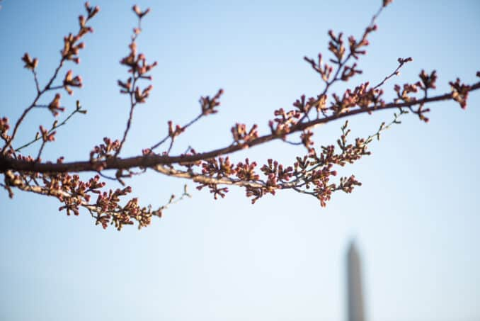 Washington DC Cherry Blossoms - March 28, 2019