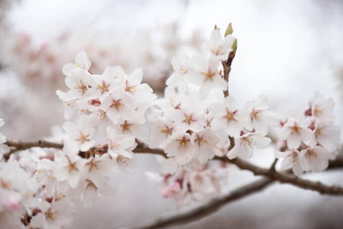 Washington DC Cherry Blossoms - March 29, 2019
