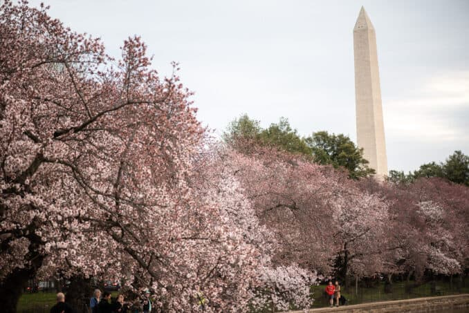 Washington DC Cherry Blossoms - March 29, 2019