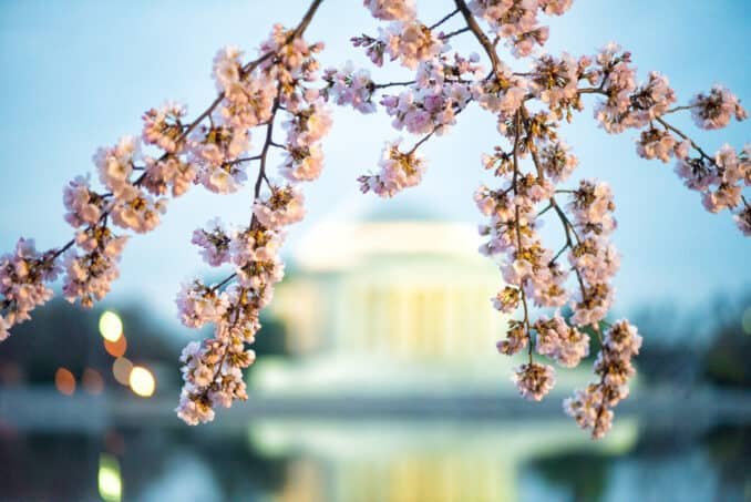 Washington DC Cherry Blossoms - March 30, 2019