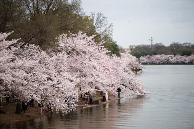 Washington DC Cherry Blossoms - March 31, 2019