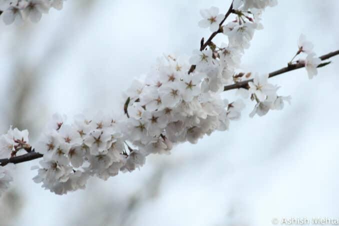 cherry blossom 25 678x452 - Reader Photos 2019 | Part 2