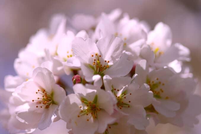 cherry blossom 678x452 - Reader Photos 2019 | Part 2