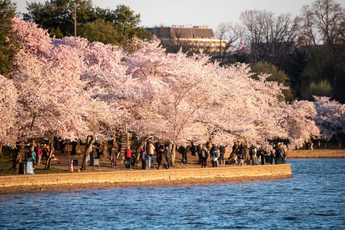 Washington DC Cherry Blossoms - April 1, 2019