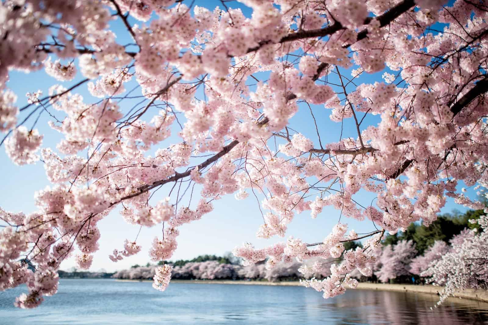 Cherry Blossom DC 2020 Peak Bloom Forecasts | Cherry ...